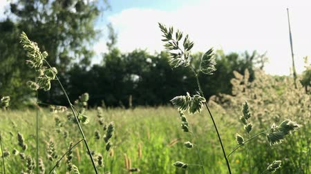 цветущий : Flowering grass swaying in the wind. On the meadow in the countryside, around is full of greenery.