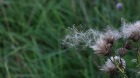 chmýří : A field plant sways in the wind. The fluff seeds are about to fall off and fly downwind. Dostupné videozáznamy