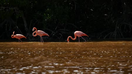 flaming : Pink Flamingo Wild Life Mexico Birds Wideo