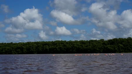 flaming : pink flamingos in the salt lagoons, celestun, mexico Wideo