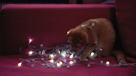 Cute little lop-eared kitten plays with a New Years garland. Christmas mood.