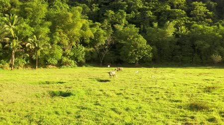 Tropical countryside with green forest, field and buffalo. Carabao bull in sunny landscape. Asian rural land and agriculture in Siargao, Philippines.
