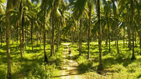 Aerial view of young couple of tourists riding a motorbike on among coconut palms in Siargao, Philippines.