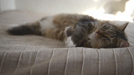 grey cat : Domestic Cat during resting Stock Footage