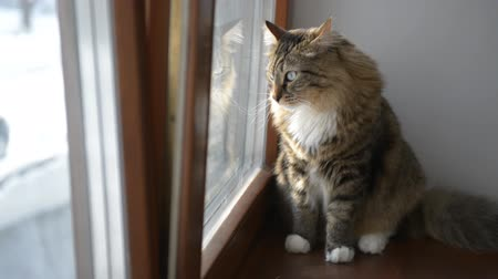 kočička : Domestic cat, watching  view from the window.
