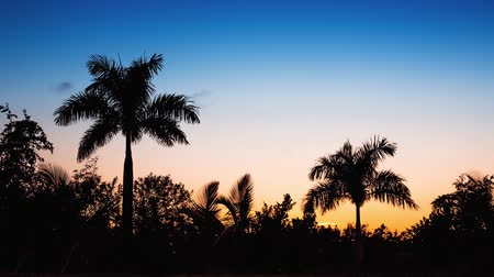 coconut palm tree : Palm tree silhouette on sunset