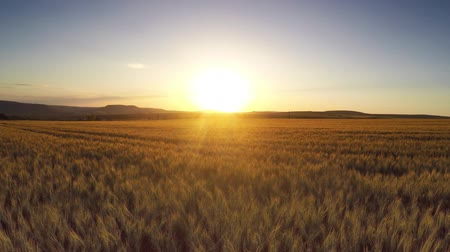 terep : Aerial Flight over the wheat field in sunset