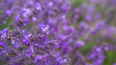 levandule : Lavender ina field, video