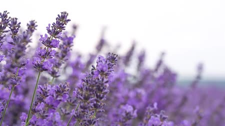 aromaterapia : Lavender ina field, video