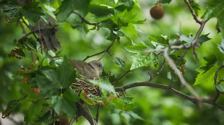 pigeon nest : Collared dove (Streptopelia decaocto) bilding nest