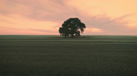pszenica : Sunset over lonely tree and green wheat field, aerial video