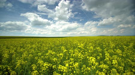 canola seeds : Field of bright yellow rapeseed in spring