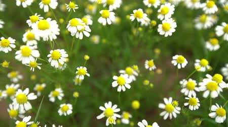 camomile : Field of white daisy flowers or camomile as background Stock Footage