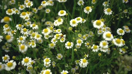 camomila : Field of white daisy flowers or camomile as background Vídeos