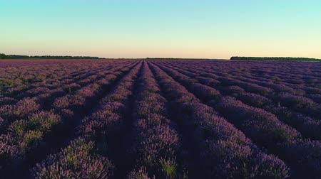 ароматерапия : Lavender field in Provence during sunset