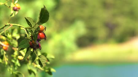 briar : Rosehip herbs plant against lake in the forest