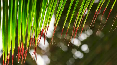 assobio : Palm tree leaf and water drops. Tropical rain in the morning on exotic beach Stock Footage