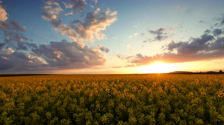 kolza tohumu : Sunset over rapeseed field video