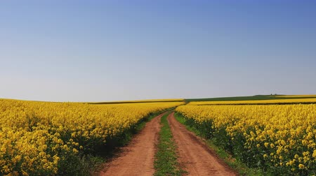 rape oil : Rapeseed field and blue sky, beautiful spring day