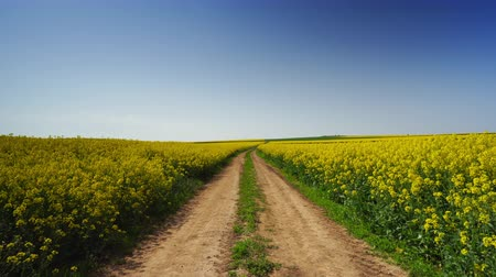 sementes : Rapeseed field and blue sky, beautiful spring day