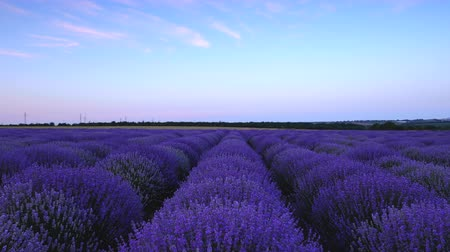 levandule : Lavender field and endless blooming rows, summer sunset landscape