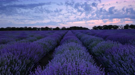 levandule : Lavender field and endless blooming rows, summer sunset landscape, Provence France