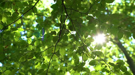 fundo azul : Sunlight And Fresh Green Tree Leaves. Sunbeams in the forest.