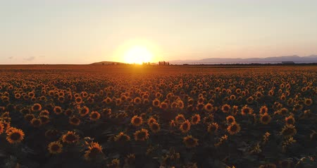 подсолнухи : Sunflower field and golden sunset in the countryside