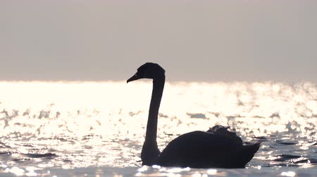 Swan in the water, sunrise on the beach