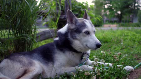 como : Cozy Alaskan Husky dog ??with clover flowers is enjoying life at home in a suburban environment with an old fence in the background (package of 6 scenes, traveling up, fixed angle and close up)