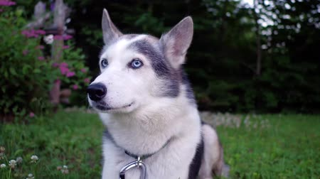 аляскинским : Cute Alaskan Husky dog ??is enjoying life in a suburban environment with flowery bushes in the background
