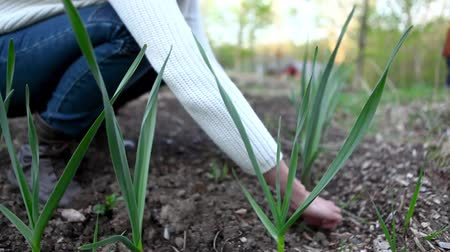 seedlings : Blurred woman taking care of her garlic plants with focus on the leaves Stock Footage