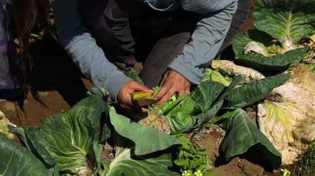 yem : Volunteer work on ecological farm crops. Hands of a mindful farmer are seen up-close, holding a large knife and checking the quality of cabbage heads before harvest season begins, slow-mo footage.