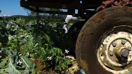 yem : Volunteer work on ecological farm crops. Close-up and slow motion footage on the wheels of a large tractor, viewed from the side as tires drive over rows of organic produce during harvest season. Stok Video