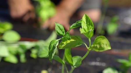 yem : Volunteer work on ecological farm crops. Closeup and slow motion footage of a young basil plant (Ocimum basilicum) swaying back and forth in a gentle breeze as a gardener works in background.