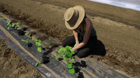 yem : Volunteer work on ecological farm crops. High angle and slow motion of footage of a female farm worker planting young crops through holes in weed suppressant membrane, taking care with organic produce.