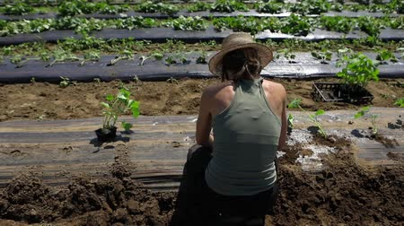 short clip : Volunteer work on ecological farm crops. A short video clip shot in slow motion, view from behind a woman volunteering on a local eco-friendly farm, crouched in field planting young crops in a row.