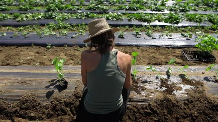 yem : Volunteer work on ecological farm crops. Close up and slow motion footage from behind a slim lady wearing a traditional hessian farmers hat whilst tending to new crops during growing season. Stok Video