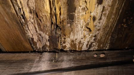 iaq : Indoor damp & air quality (IAQ) testing. A close-up & slow-mo clip of condemned wood structural support beams inside a domestic dwelling, rotting & infested with wood decay fungus (lignicolous fungi).