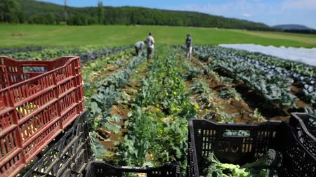 horticulture : Volunteer work on ecological farm crops. Slow motion footage from onboard a tractor at work on an organic farm as workers harvest fresh broccoli & vegetables to load in crates ready for farmers market