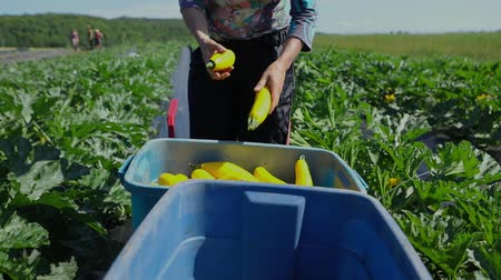 yem : Volunteer work on ecological farm crops. A farm helper is seen close-up in slow-mo, removing the ends from yellow summer squashes (Cucurbita pepo), before placing fresh vegetables into large containers Stok Video
