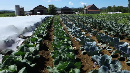 alberello : Volunteer work on ecological farm crops. Rows of healthy vegetables are seen planted on a large eco-friendly farm as the camera slowly pans upwards to reveal workers and buildings in the background.