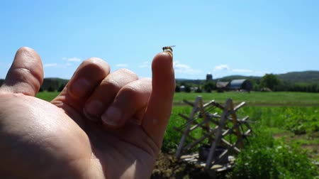 broca : Volunteer work on ecological farm crops. Closeup & slow motion footage of a small hornet at rest on the finger of a farmer, pollinator needed for successful ecosystem, a large plantation is seen behind
