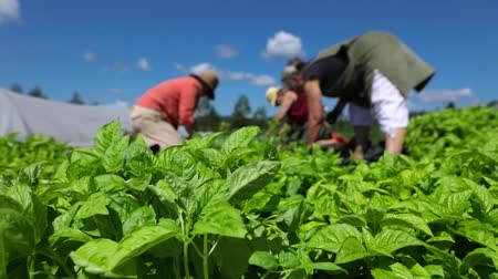 broca : Volunteer work on ecological farm crops. Fresh herbs are seen growing in a large field as farm workers harvest plants in the background ready for sale at a local farmers market, short slow motion clip Stock Footage