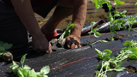 ボランティア : Volunteer work on ecological farm crops. Closeup and slow motion footage on the hands of a farmer, potting on young basil plants into the ground, through pierced holes in weed suppressant membrane.