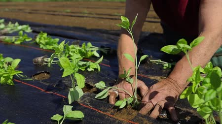 alberello : Volunteer work on ecological farm crops. Working hands are seen in up-close detail as a person plants new crops in lines on an eco-friendly farm during growing season, outdoors on a sunny day.