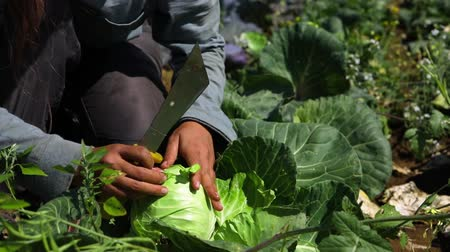 kertészet : Volunteer work on ecological farm crops. Hands of a farm worker are seen up-close in slow motion, harvesting organic cabbage heads and removing the outer leaves, ready for market sale. Stock mozgókép