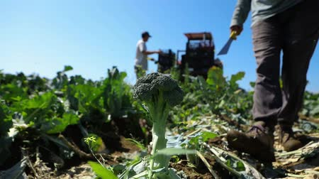 yem : A closeup view on a green broccoli plant (Brassica oleracea) in the field of a bio farm as a worker approaches in slow motion and chops the head with a machete.