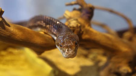 Close up on a gray ratsnakes head looking straight in the camera with blurry background - fixed angle Stock Footage