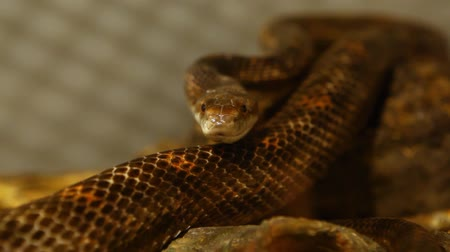 Close up on a gray ratsnakes head looking straight in the camera with blurry background - fixed angle, shoulder camera Stock Footage